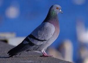 Controllo dei piccioni