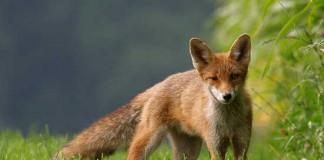 Caccia alla volpe e al cinghiale in Puglia