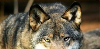 Interventi sui lupi