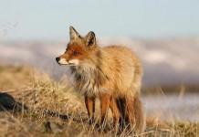 Controllo delle volpi
