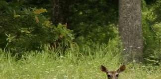 Cervo investito
