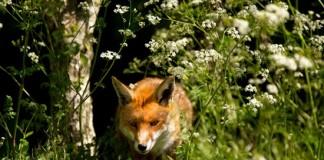Caccia in braccata alla volpe