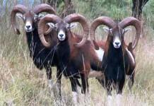 Piano di selezione del muflone