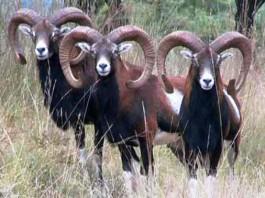 Censimento dei mufloni