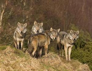 Caccia al lupo