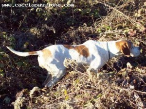 pointer in ferma