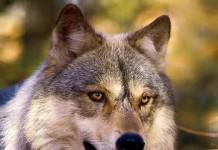 Conservazione del lupo