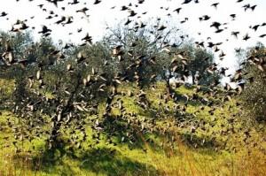 Coltivatori di olive
