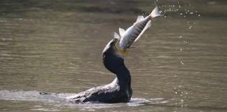Caccia di selezione ai cormorani