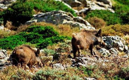 Caccia al Cinghiale in Sardegna