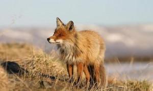 Controllo della volpe