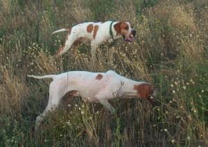 Cani da ferma su selvaggina naturale