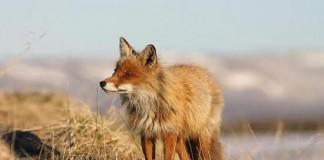 Caccia in battuta alla volpe