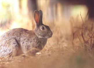 Caccia al coniglio
