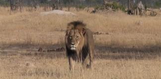 leone cecil simbolo zimbaue