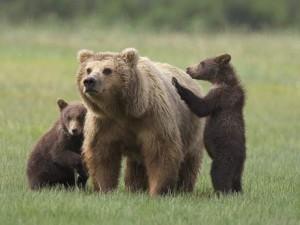 orso marsicano e cuccioli