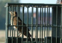 Cattura degli uccelli