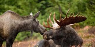 Moose, hunting moose caccia all'alce