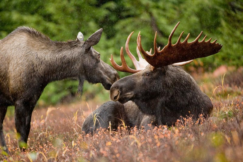 Moose, hunting moose caccia all'alce