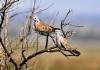caccia tortora africana preapertura caccia italia