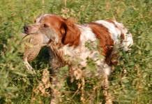 epagneul breton da riporto su starna