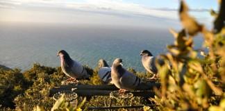 caccia ai colombacci sul monte argentario