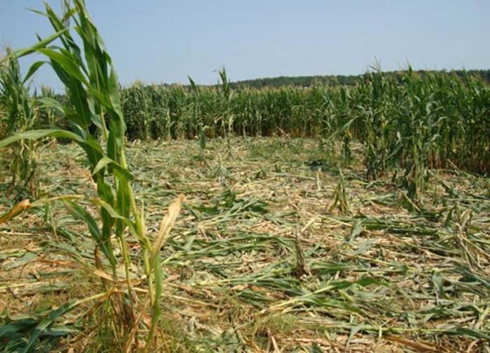 danni agricoltura da cinghiali