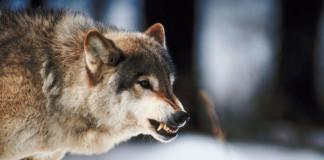 Monitoraggio dei lupi