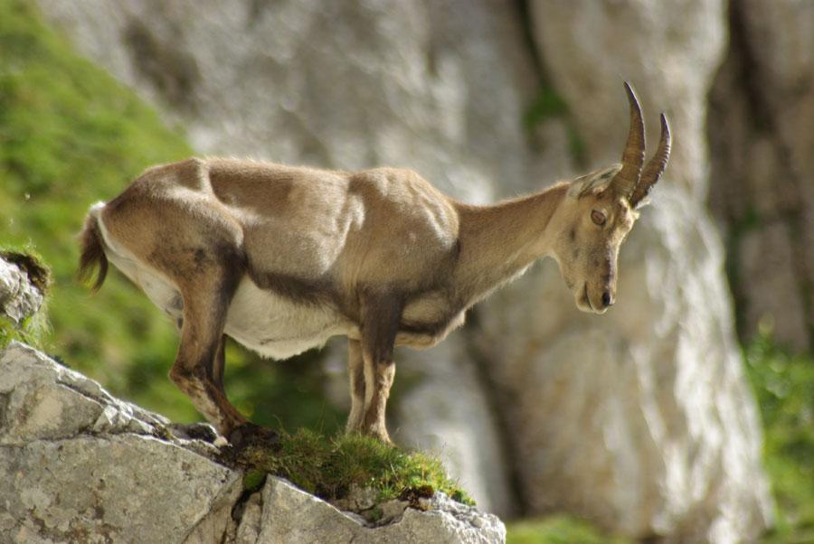 Stambecco europeo sulle Alpi
