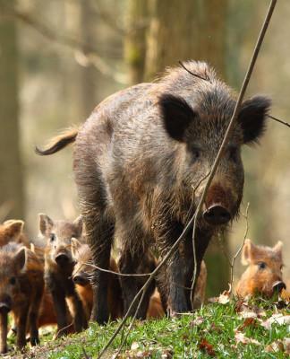 caccia al cinghiale - wild boar hunting