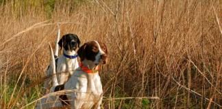 Cani da caccia in ferma