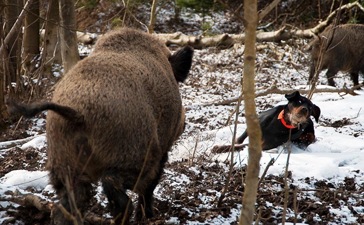 slovensky kopov il cane che racconta il cinghiale con l abbaio caccia passione. Black Bedroom Furniture Sets. Home Design Ideas