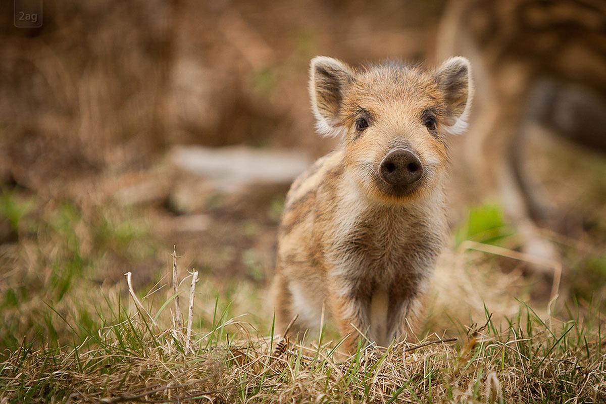 cinghialetto_porcastro_wild_boar_puppy