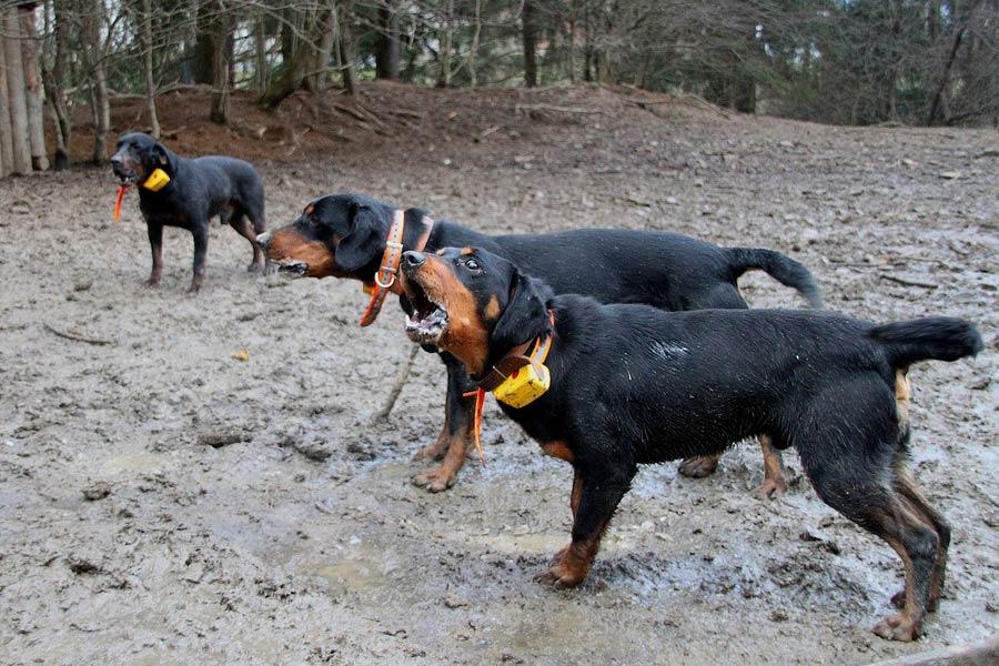 Muta cani da cinghiale slovensky Kopov o segugio slovacco