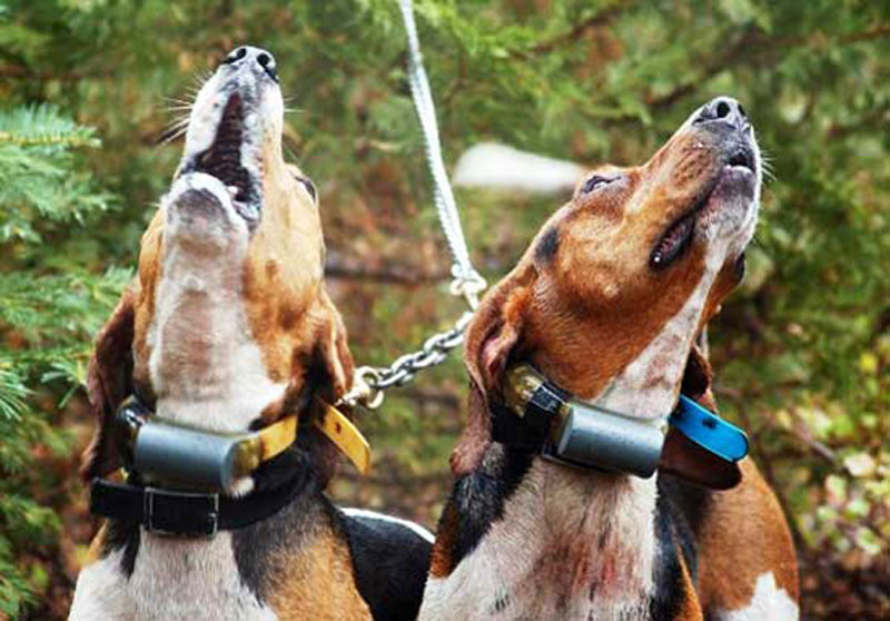 Muta di segugi - Cani da seguita cinghiale