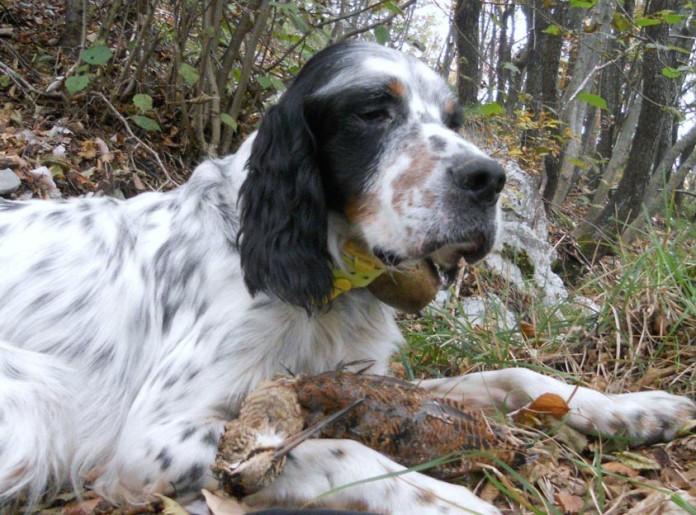 caccia alla beccaccia Isola di Bute - Scozia