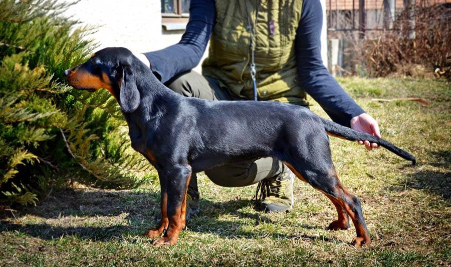 Slovensky Kopov cane da cinghiale