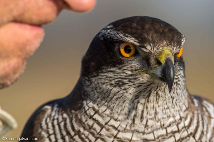 Cacciatori falconieri