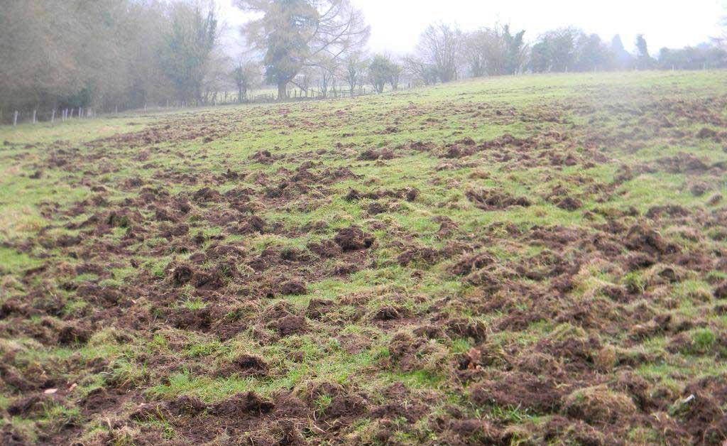 cinghiali_danni_agricoltura