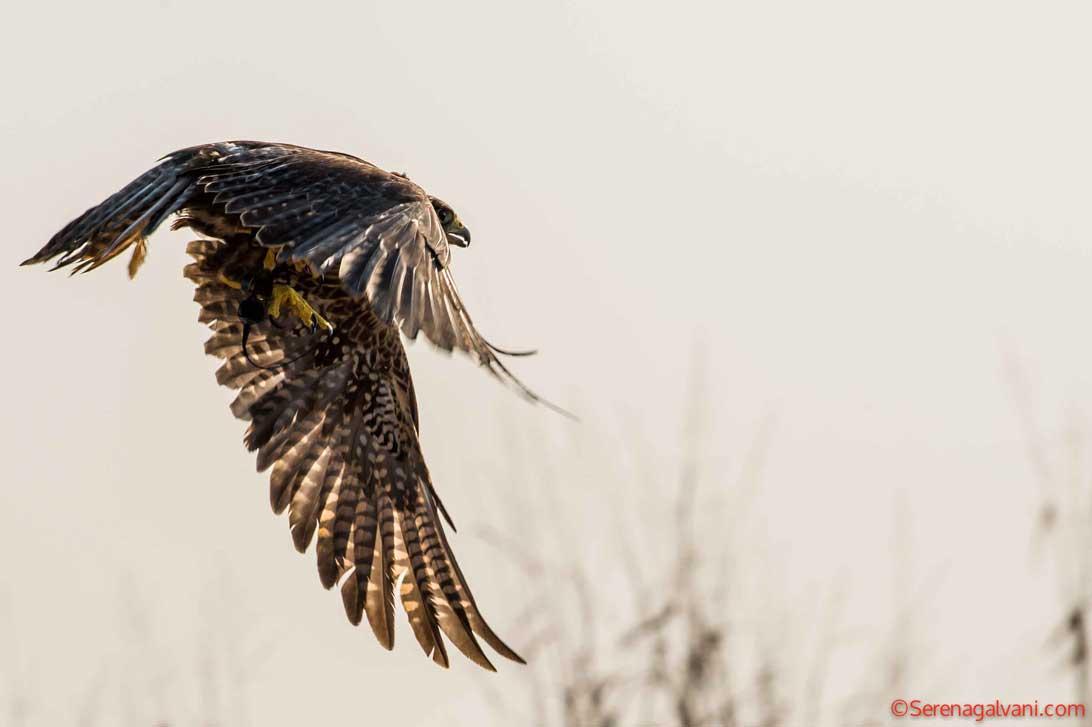 Falconera - Falconry