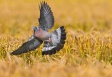 Colombaccio - caccia al colombaccio