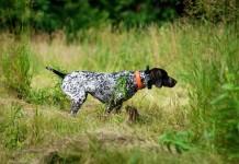 Otiti nel cane da caccia - Veterinaria