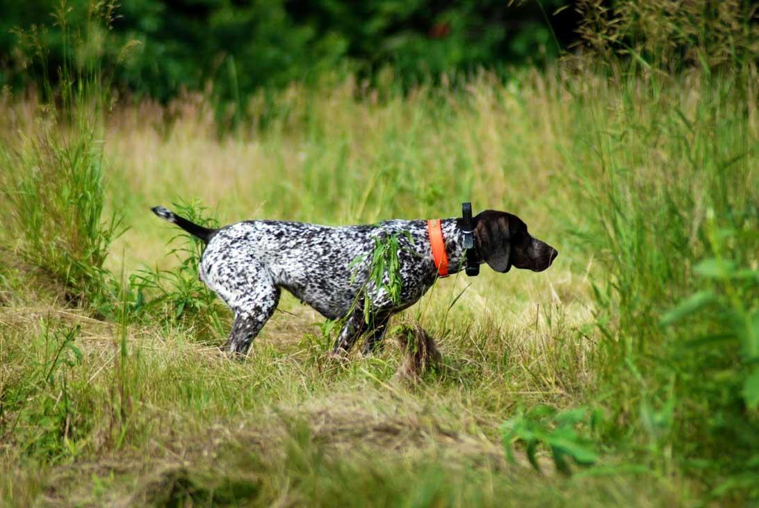 cane-caccia-ferma