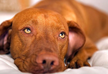 cane diabetico veterinaria