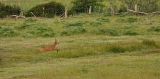 Un maschio d capriolo nel bosco