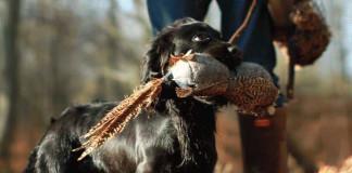 cane da caccia a lavoro