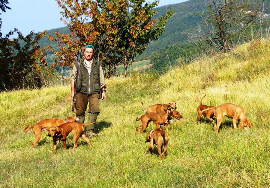 Muta cani da caccia razza segugio italiano