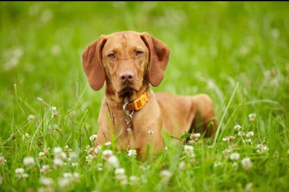 Cane da caccia razza vizla o bracco ungherese