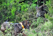 Cane limiere e caccia in girata