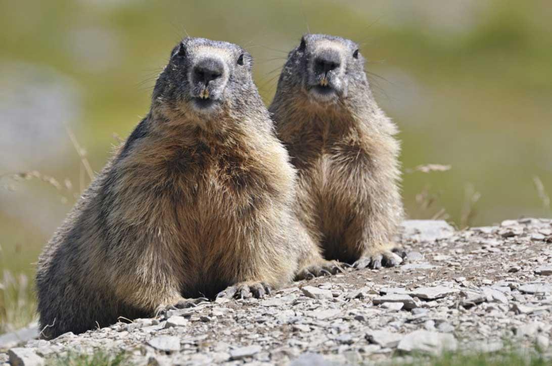 Marmotte - Alpi